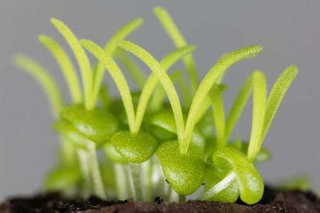 Seedlings of Delosperma bosseranum, a succulent plant. Stock Photo - 123362710