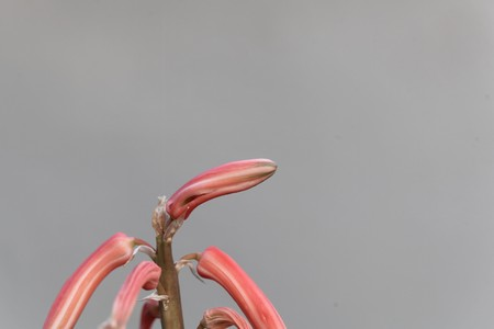 Flowers of a tiger aloe, Gonialoe variegata, with a white background. Stock Photo