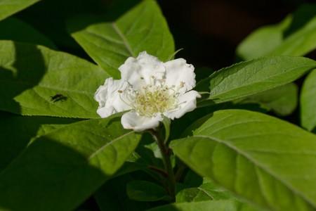 Flowers of a medlar tree, Mespilus germanica