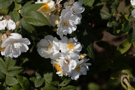 Flowers of a rambling rector rose, a historical rose variant.