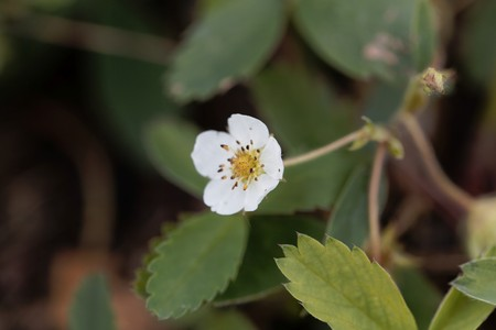 Flower of a common strawberry, Fragaria virginiana.