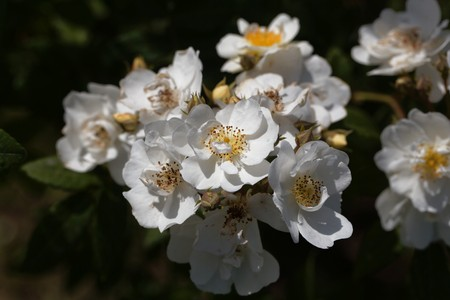 Flowers of a rambling rector rose, a historical rose variant. Stock Photo - 123360783