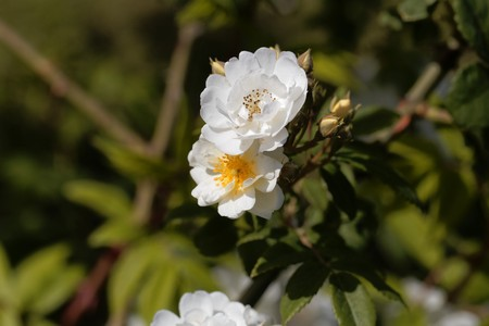 Flowers of a rambling rector rose, a historical rose variant. Stock Photo - 123360787