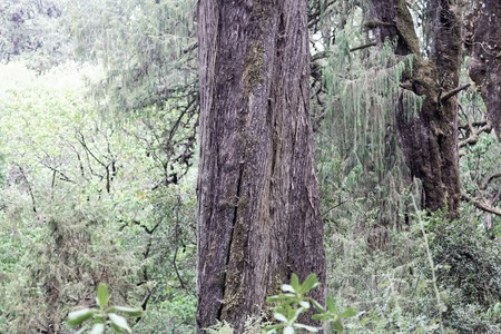 Juniperus tree, Juniperus procera, in the Menagesha Forest in Ethiopia.