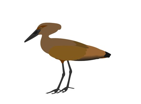 Illustration of a hamerkop, Scopus umbretta, isolated on white background.
