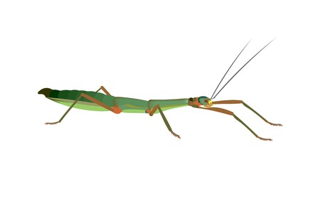 Illustration of an Annam walking stick Medauroidea extradentata, isolated on white background.