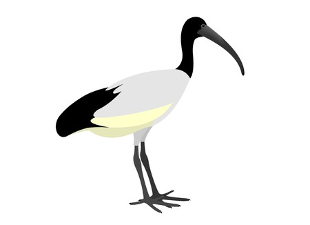 Illustration of An African Sacred Ibis, Threskiornis aethiopicus, isolated on white background.