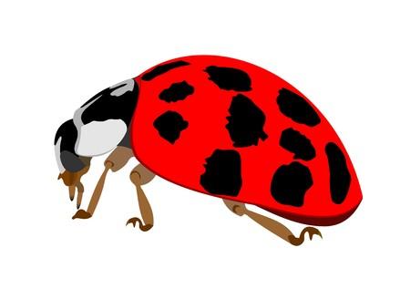 Illustration of a Ladybug, Harmonia axyridis, isolated on white background.