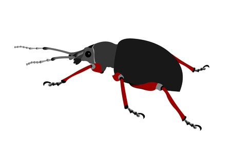 Illustration of a Snout beetle, Otiorhynchus coecus, isolated on white background. Stok Fotoğraf