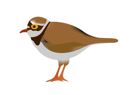 Illustration of a little ringed plover, Charadrius dubius, isolated on white background. Zdjęcie Seryjne