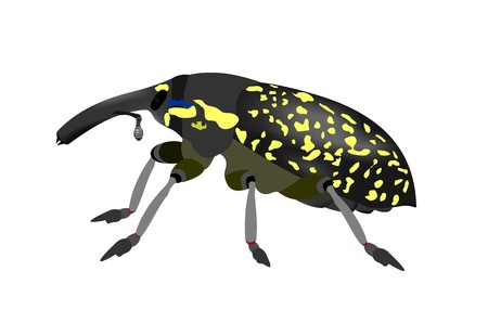 Illustration of a Snout beetle, Larinus beckeri, isolated on white background.
