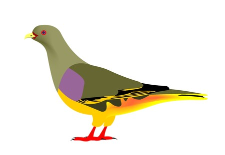 Illustration of a Bruce Green-pigeon, Treron waalia, isolated on white background.
