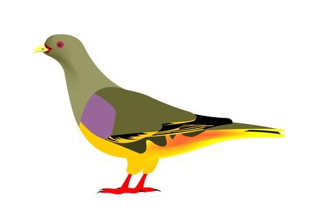 Illustration of a Bruce Green-pigeon, Treron waalia, isolated on white background.