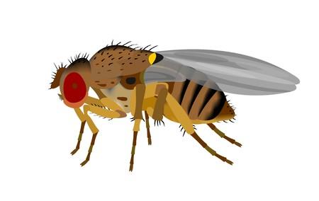 Illustration of a Fruit fly, Drosophila, isolated on white background.