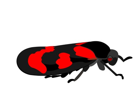Illustration of a black and red froghopper, Cercopis vulnerata, isolated on white background. Stok Fotoğraf