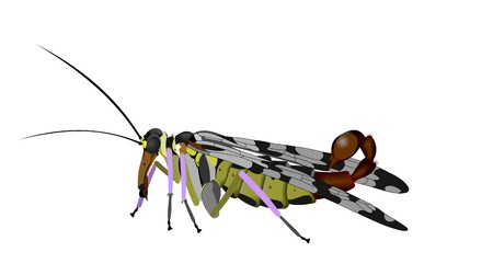 Illustration of a common scorpionfly, Panorpa communis, isolated on white background. Stock Photo