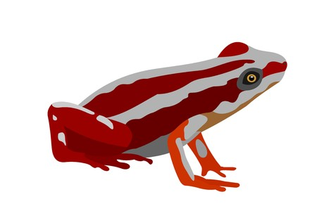 Illustration of a phantasmal poison-arrow frog, Epipedobates tricolor, isolated on white background.