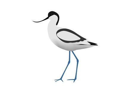 Illustration of a pied avocet, Recurvirostra avosetta, isolated on white background. Zdjęcie Seryjne