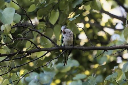 A monk parakeet, Myiopsitta monachus, in a tree.