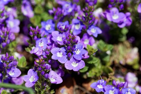 Flowers of a Turkish speedwell, Veronica liwanensis