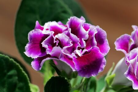 Pink and white flower of a Gloxinia hybrid