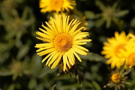 Flower of Inula hirta, on alpine flower. Stock Photo