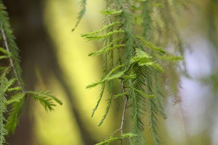 Leaves of a Montezuma bald cypress tree, Taxodium mucronatum