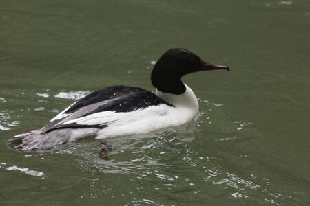 A male goosander, Mergus merganser, on brown water of a river. Banco de Imagens