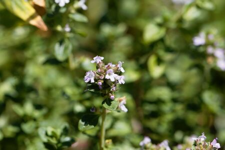 Macro photo of of lemon thyme flowers, Thymus citriodorus.
