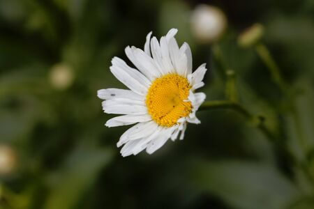 Flower of a max chrysanthemum, Leucanthemum maximum, to aster species from France and Spain.