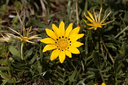 Bloom of a treasure flower, Gazania rigens.