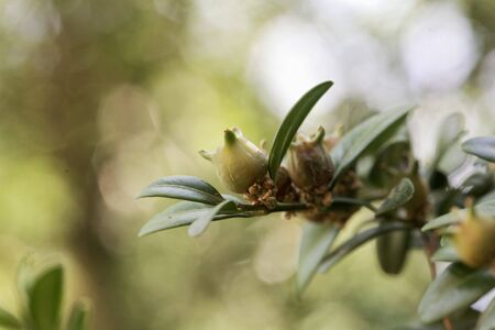 Fruits of a common box tree, Buxus sempervirens. Stockfoto