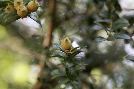 Fruits of a common box tree, Buxus sempervirens. Stockfoto - 128459707