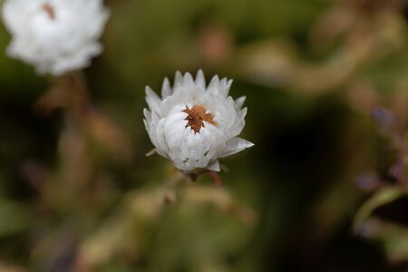Flower of the straw flower helichrysum bellum, from South Africa.
