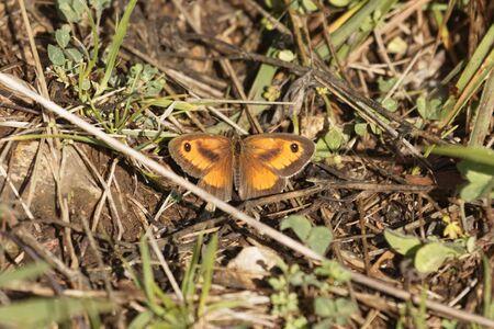 Ein Pförtner oder Heckenbrauner Schmetterling, Pyronia tithonus