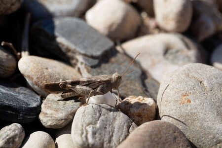 A red-winged grasshopper, Oedipoda germanica, on a stone.