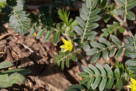 A flower of goat head flower, Tribulus terrestris, a medical plant from the Mediterranean area.