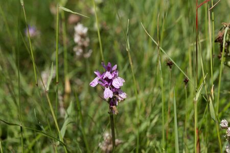 Flower of a spotted orchid, Dactylorhiza maculata, in a meadow. 스톡 콘텐츠