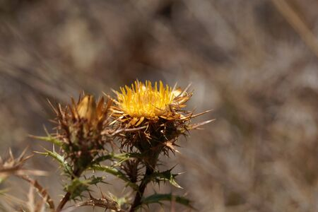 Flower of the carline thistle Carlina hispanica from Southern Europe.