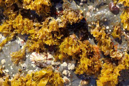 The red algae  Rissoella verruculosa on a rock in the Mediterranean Sea.