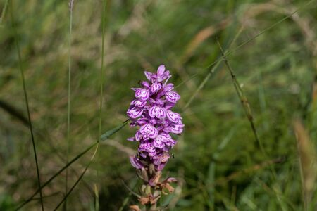 Flower of a spotted orchid, Dactylorhiza maculata, in a meadow. Stockfoto