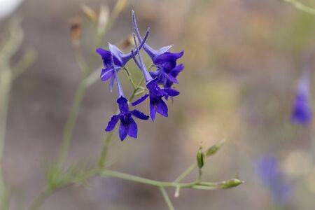 Flower of a forking larkspur, Consolida regalis.