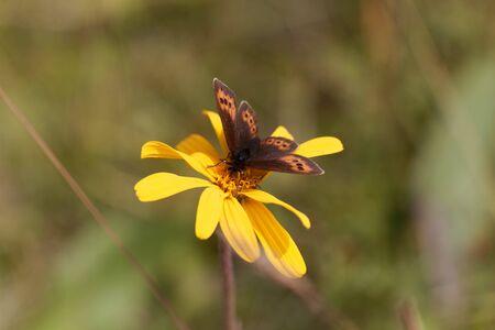 Piedmont ringlet butterfly, Erebia meolans, on a yellow flower.