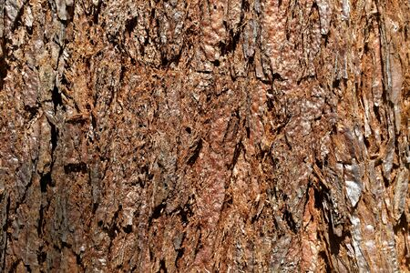 Bark of a giant sequoia tree, Sequoiadendron giganteum
