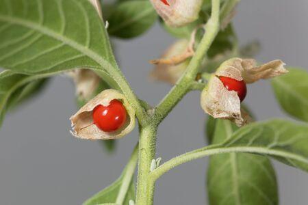 Fruits on a Ashwagandha plant, Withania somnifera