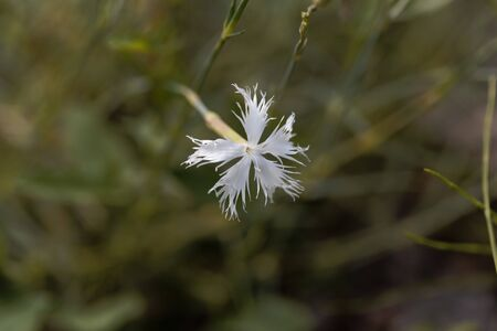 A flower of the carnation Dianthus serotinus, from Eastern Europe. 스톡 콘텐츠