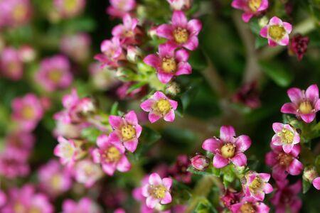 Macro photo of flowers on a crassula schmidtii plant. 스톡 콘텐츠