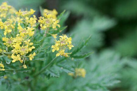 Flowers of a tansy-leaved rocket plant, Hugueninia tanacetifolia.