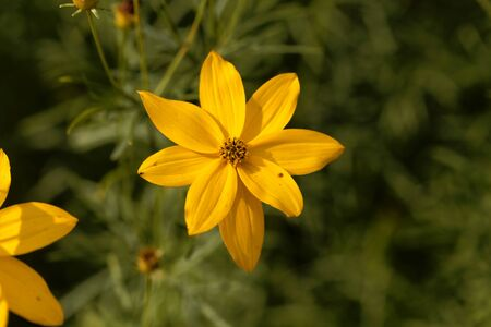 Flower of a whorled tickseed, Coreopsis verticillata