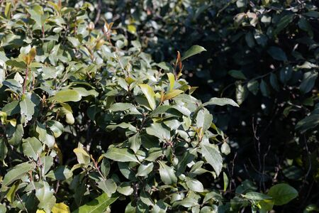 Fresh leaves of a khat or qat bush, Catha edulis, in a field.